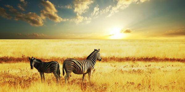 South Africa Zebras